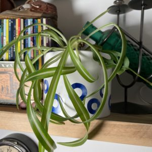Blue Spotted White Plant Pot with Curly Spider Plant