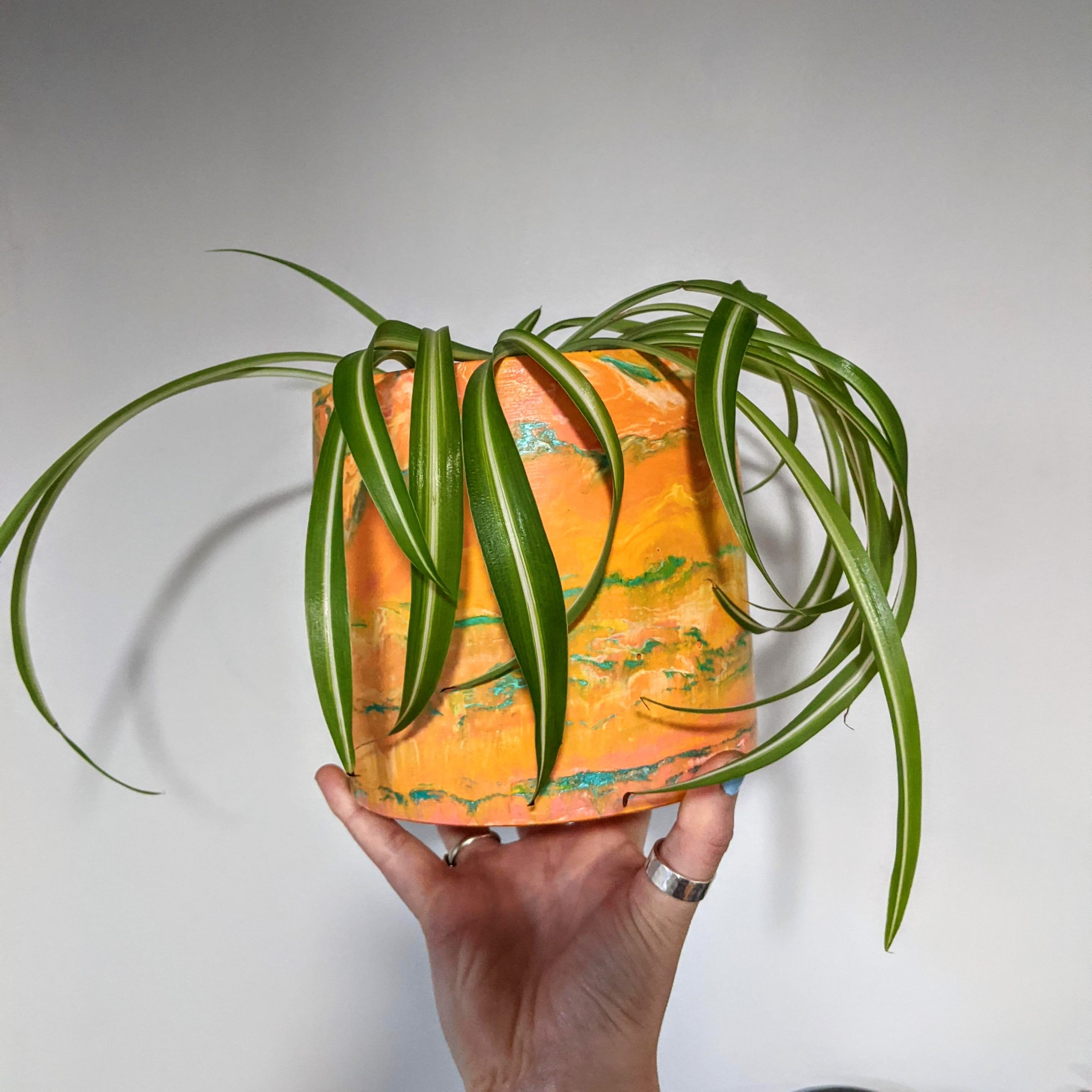 Straight sided pot with curly spider plant