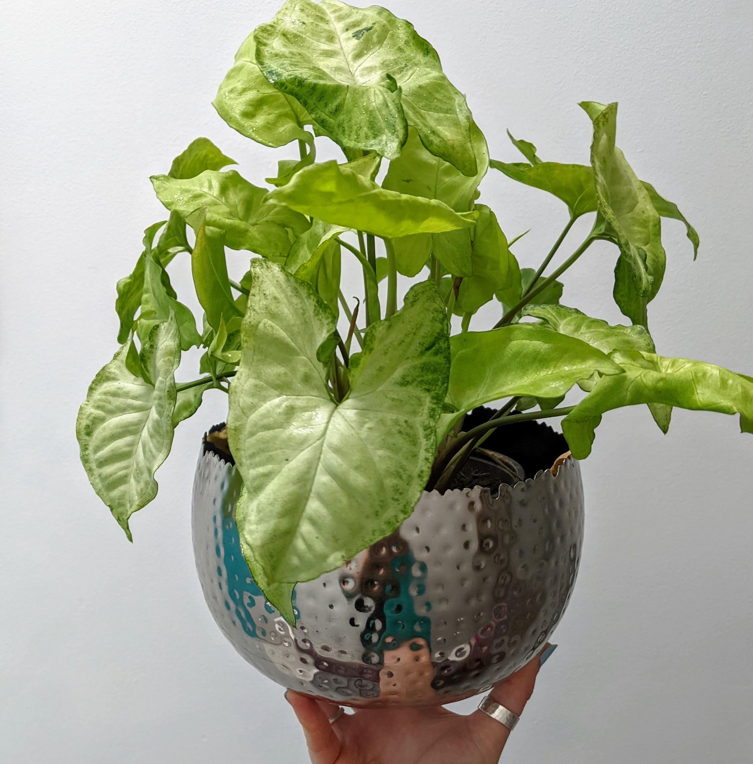Silver Indoor Plant Pot with Syngonium podophyllum plant